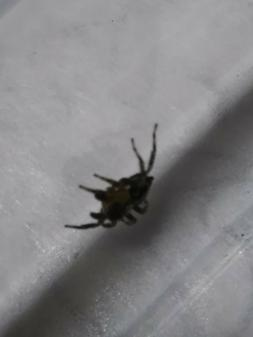 1 small baby  jumping spider  good for educational and kids,