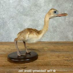 18354 P | Baby Rhea Taxidermy Bird Mount For Sale