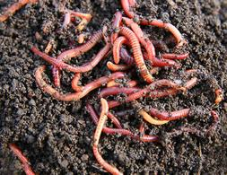 250 Live Baby Red Wiggler Worms for Composting, Fish, Lizard